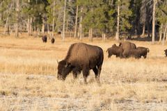 Free Bison Stock Images - 114491174