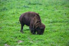 bison Royaltyfri Fotografi