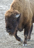Bison. A Bison wallking with head down Royalty Free Stock Image