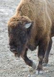 Bison Image libre de droits