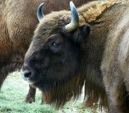 bison Arkivfoton