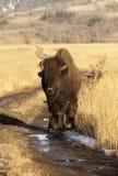 Bison stockfotografie