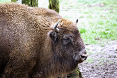 Bison. Wisent or Bison, an endangered species, inside a reservation in europe, romania stock photo