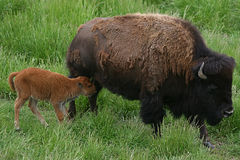 Bison. A bison and her calf roam the prairie Royalty Free Stock Photography