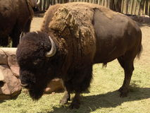 Bison. American bison, American buffalo. a North American, oxlike ruminant, Bison bison, having a large head and high, humped shoulders: formerly common in North Royalty Free Stock Image