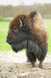 Bison Royalty Free Stock Photo