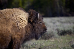The Bison Royalty Free Stock Photos