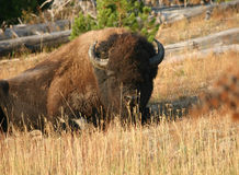 Bison. A huge bison lying down Royalty Free Stock Image