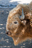 Bison. Buffalo / Bison detailed head shot royalty free stock photography