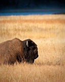 Bison Royalty Free Stock Images