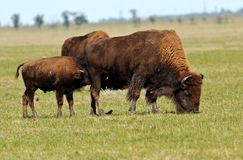Bison Royalty Free Stock Image