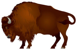 Bison. The American bison and the European wisent are the largest terrestrial animals in North America and Europe Royalty Free Stock Images