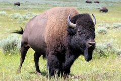 Bison. In yellowstone national park Royalty Free Stock Photos