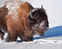 Bison Stockbild