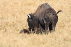 Bison Lizenzfreies Stockbild