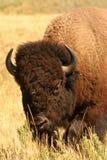 bison Royaltyfri Foto