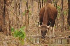 Bison Photo libre de droits
