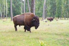 Free Bison Royalty Free Stock Photos - 21591928