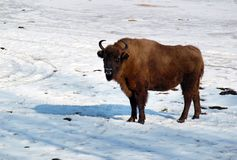 Bison. The image of bison at the winter Stock Images