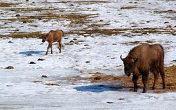 Bison. The image of bison at the winter Royalty Free Stock Image