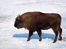 Bison. The image of bison at the winter Stock Photography