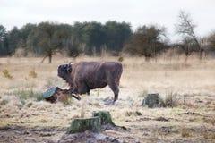 Bison Stock Image