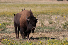 Bison. With birds on its back in a prairie Royalty Free Stock Image