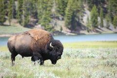 bison arkivbild