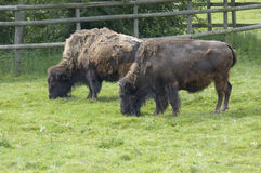 Bison. Two american bison or american buffalo in a field Stock Photography