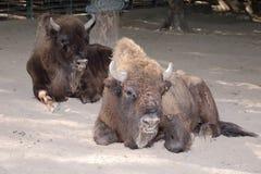 Bison. Royalty Free Stock Photo