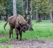 Bison Royaltyfria Bilder