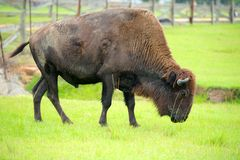 Bison. North American Bison grazing in a field Stock Image