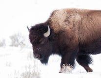 Bison Lizenzfreie Stockfotografie