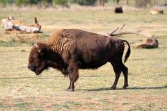 Bison Arkivfoto