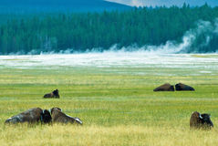 Bison. Relaxing on a field with geysers in the background Stock Photo