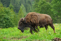 Bison royaltyfria bilder