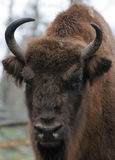 Bison. Close-up of European Bison Royalty Free Stock Images