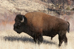 Bison. / north american buffalo by yellowstone national park, wyoming Stock Photos