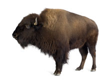 Free Bison Stock Photography - 4247582
