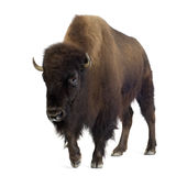 Bison Images stock
