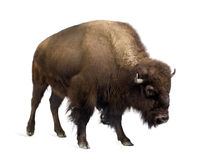Free Bison Stock Photo - 4247600