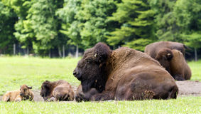 Free Bison Stock Photography - 43093582