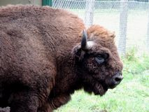 bison Photographie stock