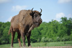 bison Photo libre de droits