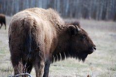 bison Royaltyfri Bild