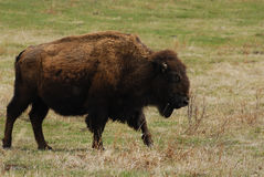 Bison. Wild bison wandering in meadowland in spring, elk island national park, alberta, canada Royalty Free Stock Photography