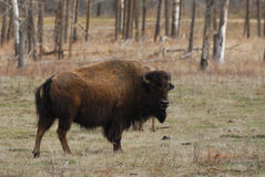 Bison. Wild bison wandering in meadowland in spring, elk island national park, alberta, canada Stock Photo