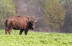 Bison Photos libres de droits