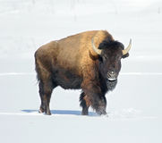 Bison Royalty Free Stock Photography