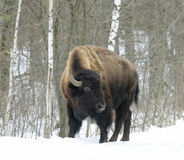 Free Bison Royalty Free Stock Images - 5643369